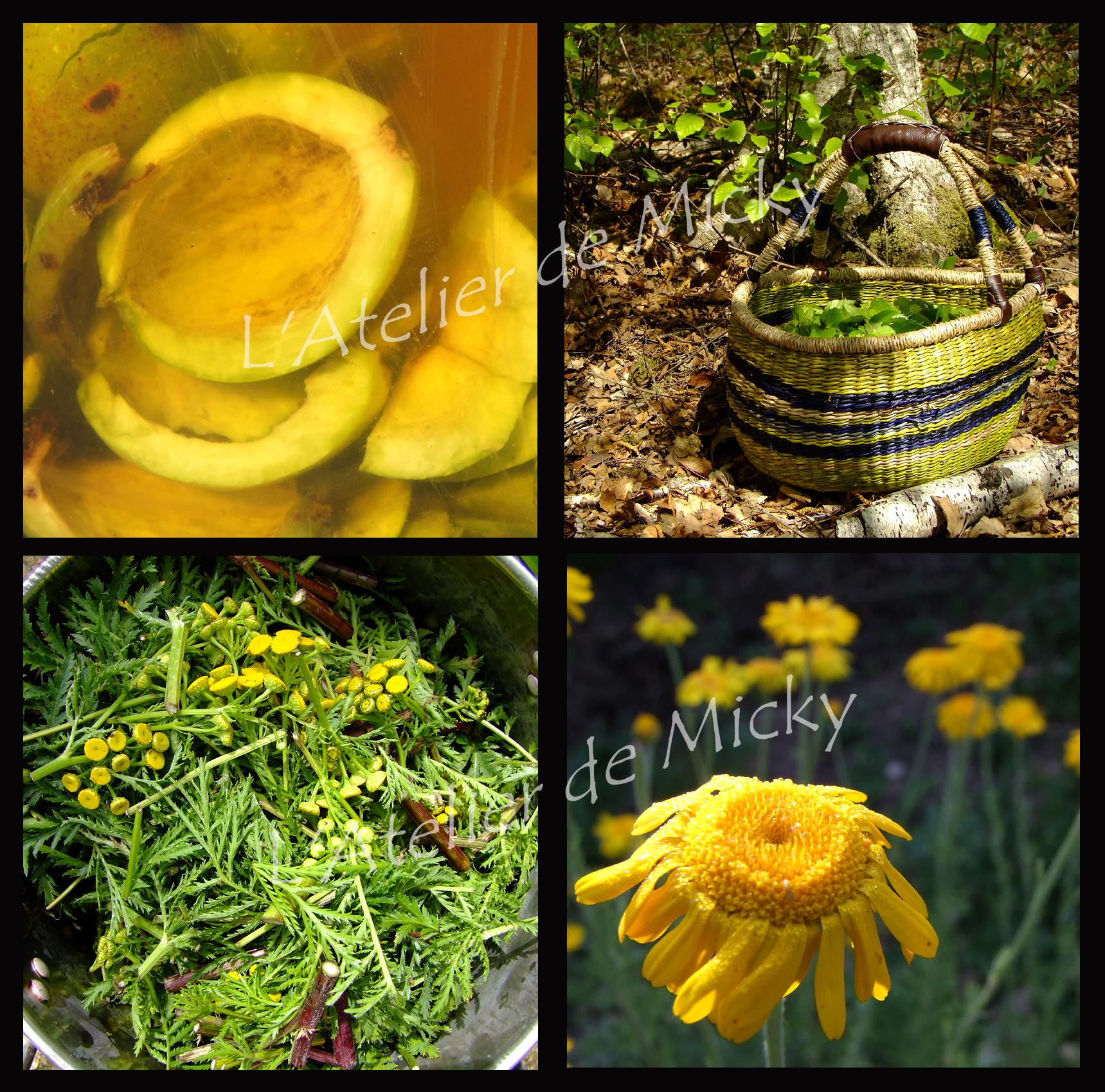 Plantes tinctoriales